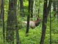 Wild Wisconsin Elk Viewing