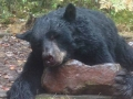 clam-lake-black-bear-guided-hunts